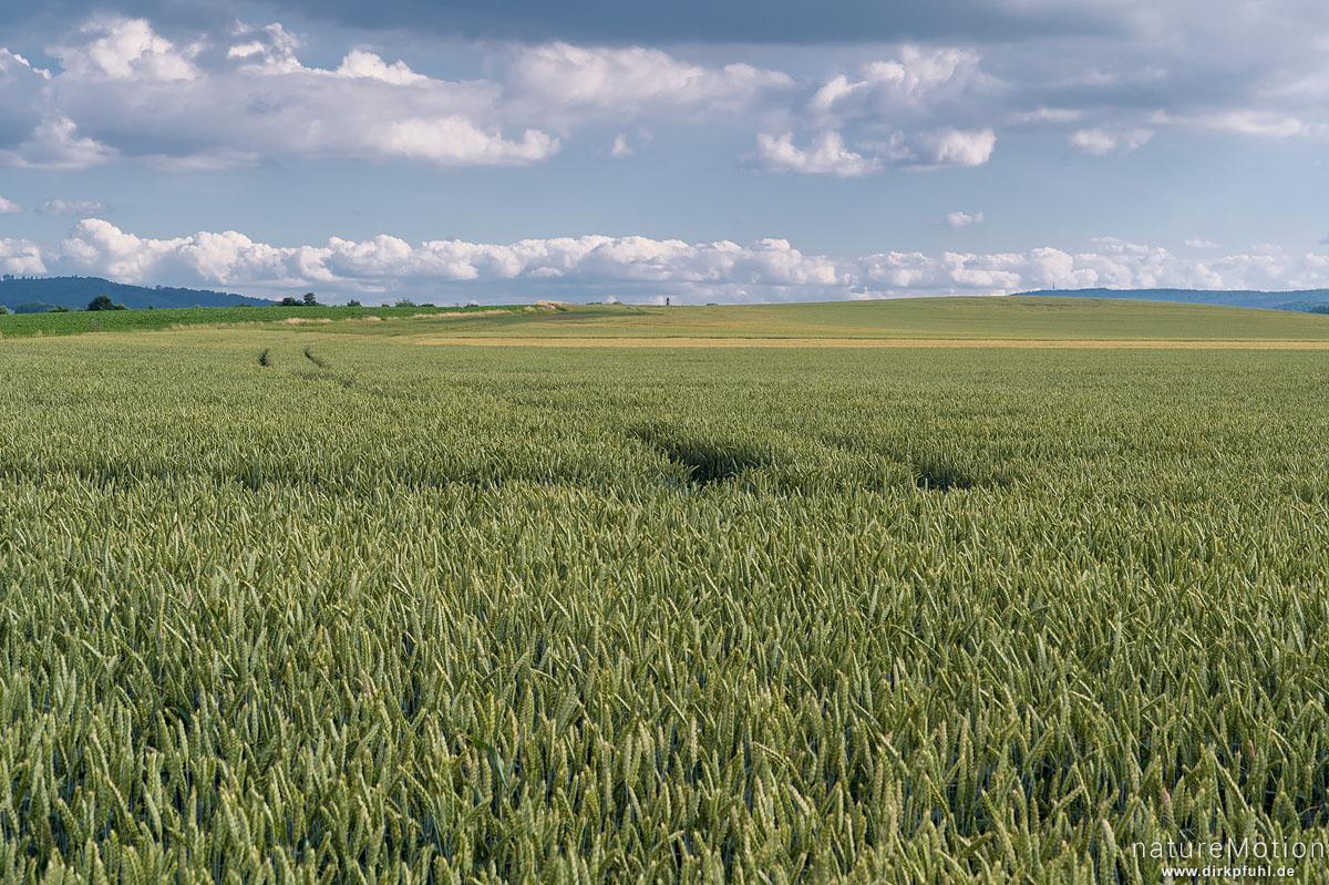 Weizenfelder, ausgeräumte Agrarlandschaft südlich von Göttingen, Göttingen, Deutschland