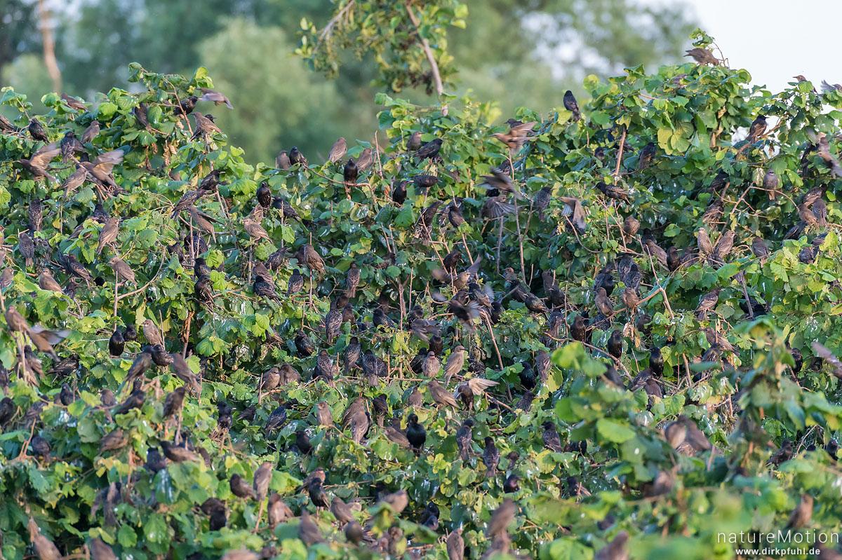 Star, Sturnus vulgaris, Sturnidae, mehrere Tausend Tiere versammeln sich am Schlafplatz in einem Haselgebüsch, Kiessee, Göttingen, Deutschland