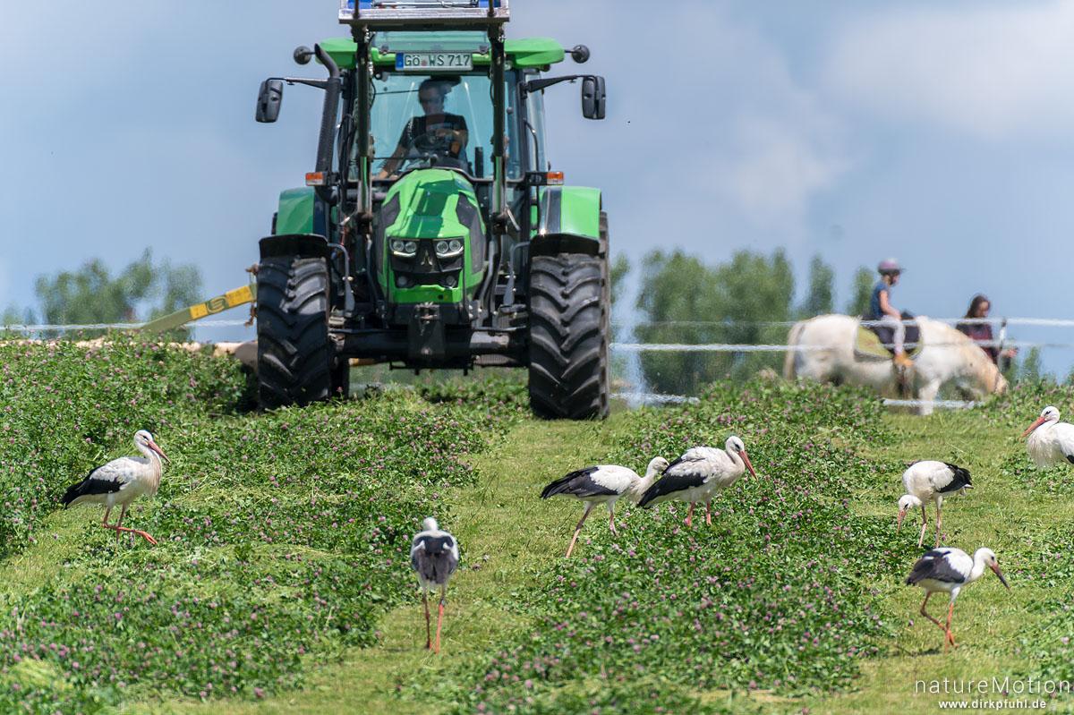 Weißstorch, Ciconia ciconia, Störche (Ciconiidae), viele Tiere auf Nahrungssuche in frisch gemähter Wiese, Traktor beim mähen, Seeburg im Eichsfeld, Deutschland