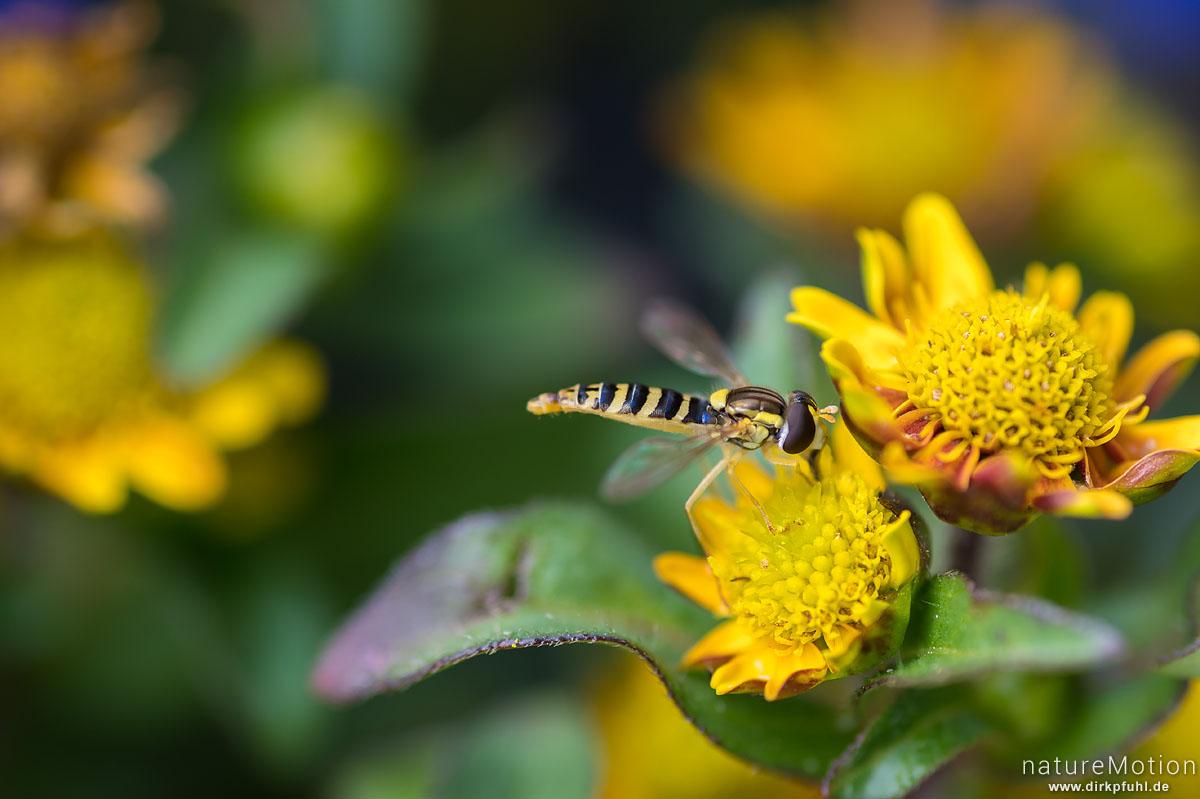 Gemeine Stiftschwebfliege, Sphaerophoria scripta, Syrphidae, Weibchen an Blüte, Göttingen, Deutschland