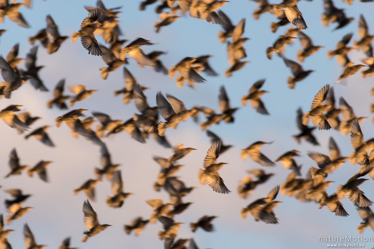 Star, Sturnus vulgaris, Sturnidae, Schwarm, Tiere beim gemeinsamen Einflug zum Schlafplatz, Erlengebüsch südlich Kiessee, Göttingen, Deutschland