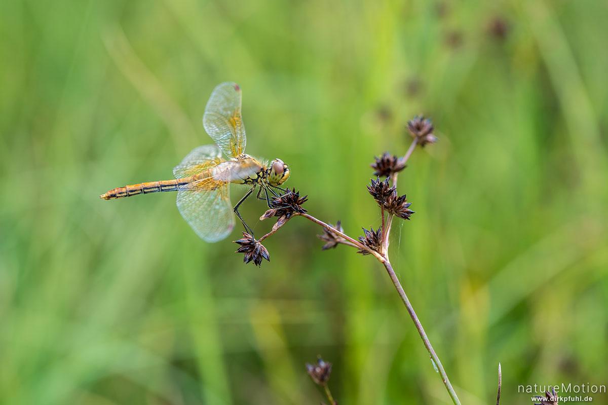 Gefleckte Heidelibelle, Sympetrum flaveolum, Libellulidae, Weibchen, Wasserbüffelweide, Langenauer Ried, Deutschland