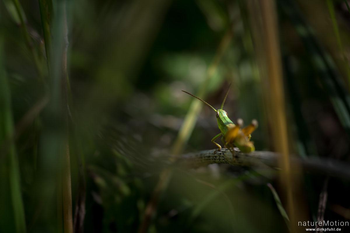 Kleine Goldschrecke, Euthystira brachyptera, Syn.: Chrysochraon brachyptera, Feldheuschrecken (Acrididae), Wasserbüffelweide, Langenauer Ried, Langenauer Ried, Deutschland