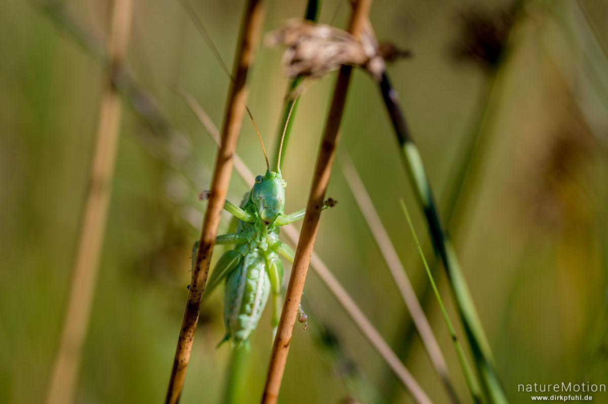 Zwitscherschrecke, Tettigonia cantans, Laubheuschrecken (Tettigonioidea,singendes Männchen, Wasserbüffelweide, Wurzacher Ried, Bad Wurzach