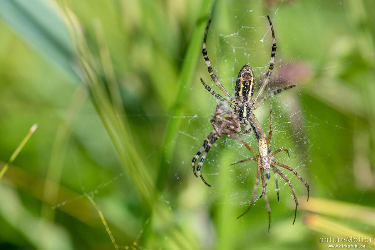 Wespenspinne, Argiope bruenechii, Echte Radnetzspinnen (Araneidae), Weibchen im Netz, Männchen beim Paarungsversuch, Wasserbüffelweide Altshauser Weiher, Altshausen, Deutschland