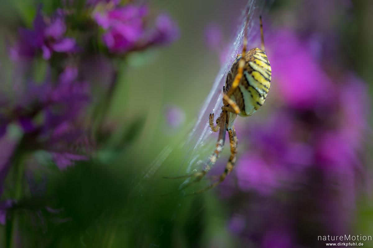 Wespenspinne, Argiope bruenechii, Echte Radnetzspinnen (Araneidae), Weibchen im Nedtz, Wasserbüffel-Weide, Steinhauser Ried, Bad Buchau, Deutschland