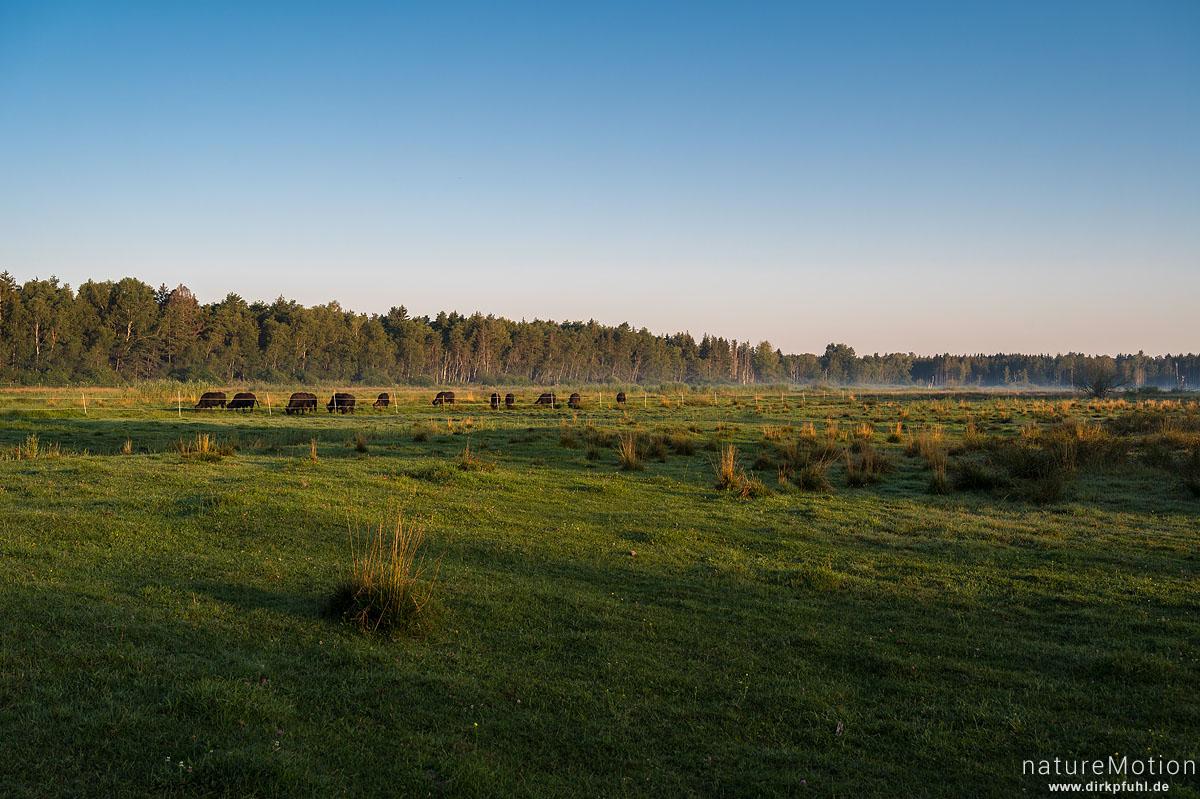 Wasserbüffel, Bubalus arnee, Hornträger (Bovidae), Herde weidender Tiere am frühen Morgen, Nebel, Steinhauser Ried, Bad Buchau, Deutschland