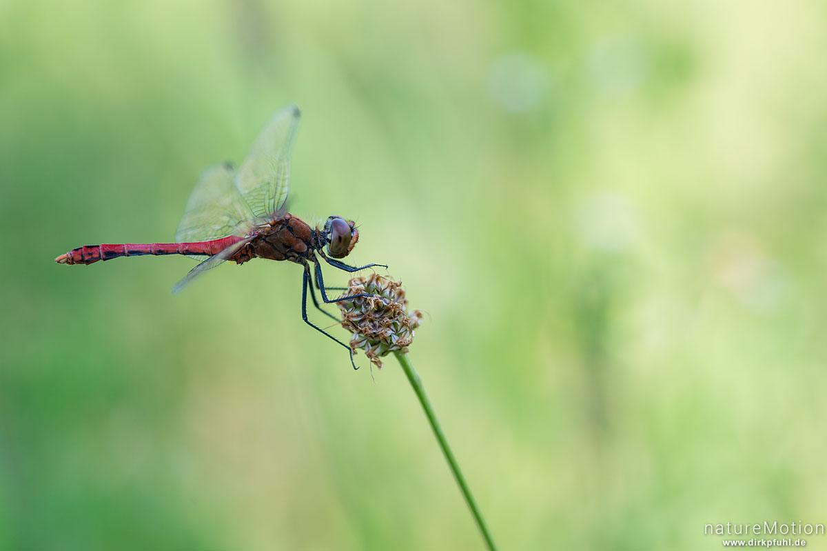 Sumpf-Heidelibelle, Sympetrum depressiusculum, Segellibellen (Libellulidae),Männchen auf Sitzwarte, Schmiechener See, Almendingen, Deutschland
