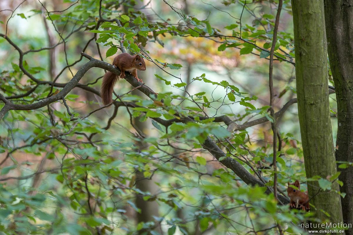 Eichhörnchen, Sciurus vulgaris, Hörnchen (Sciuridae), Weibchen mit Jungtieren, klettern im Geäst, Rheinsteig, Kaub, Deutschland