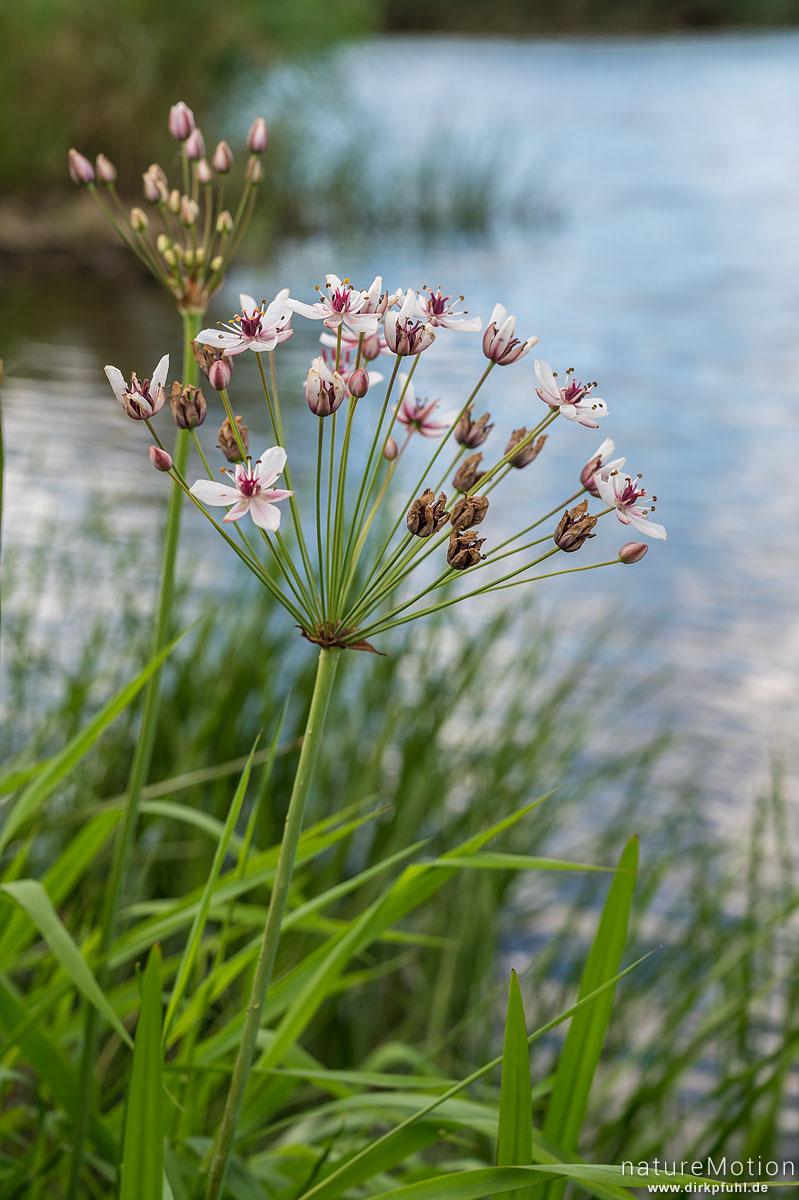 Schwanenblume, Butomus umbellatus, Schwanenblumengewächse (Butomaceae), Blütenstand, Ufer der Oder, Kienitz, Deutschland