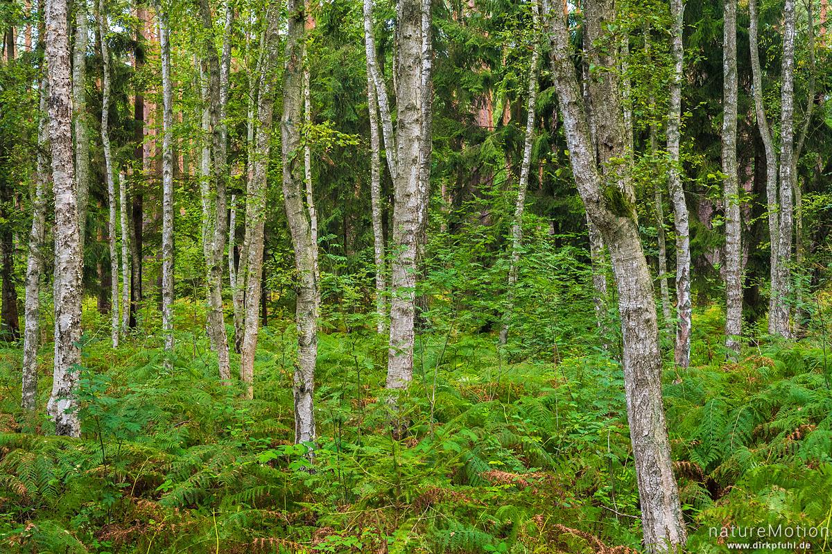 Birkenwald und Adlerfarn, Altwarp, Deutschland