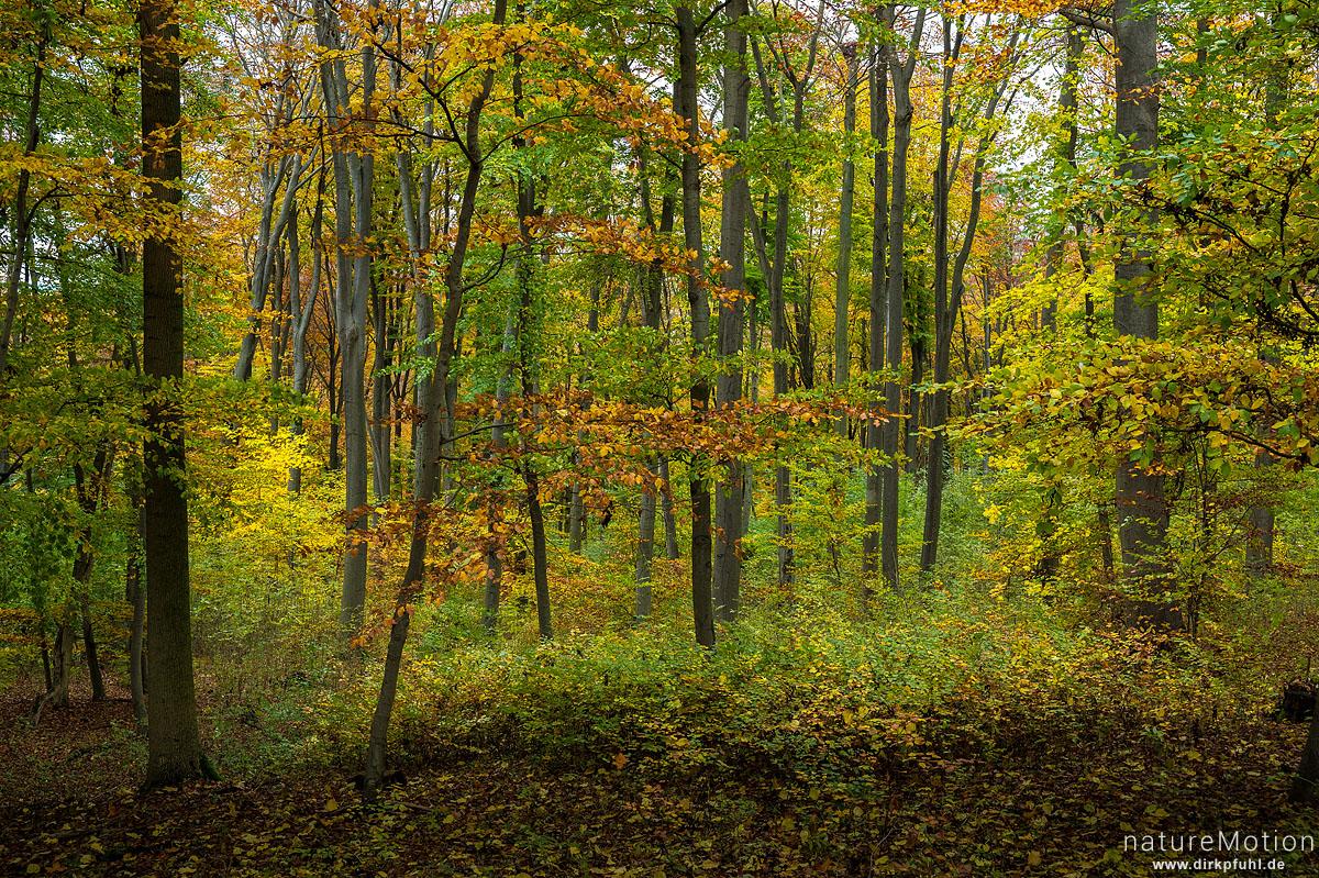 Buchenwald in Herbstfärbung, Westerberg, Göttingen, Deutschland