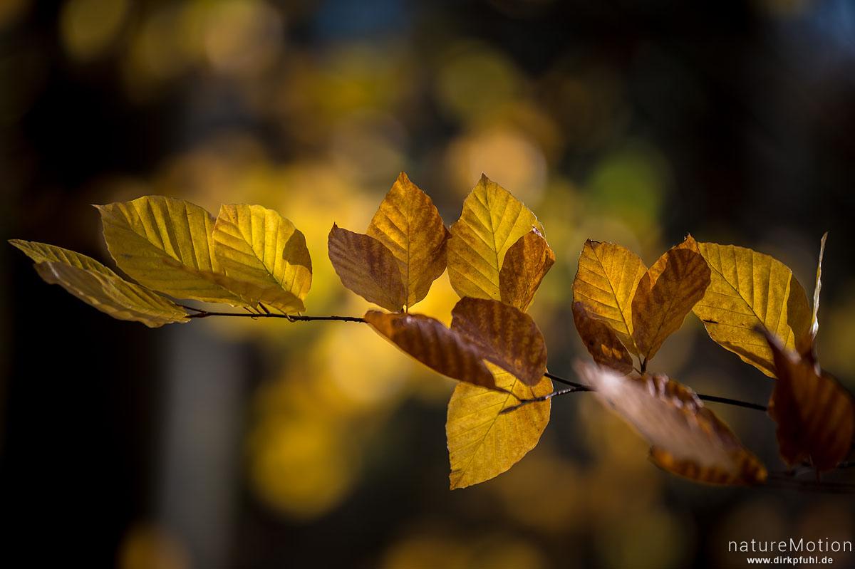 Herbstlaub, Rotbuche, Göttinger Wald, Göttingen, Deutschland