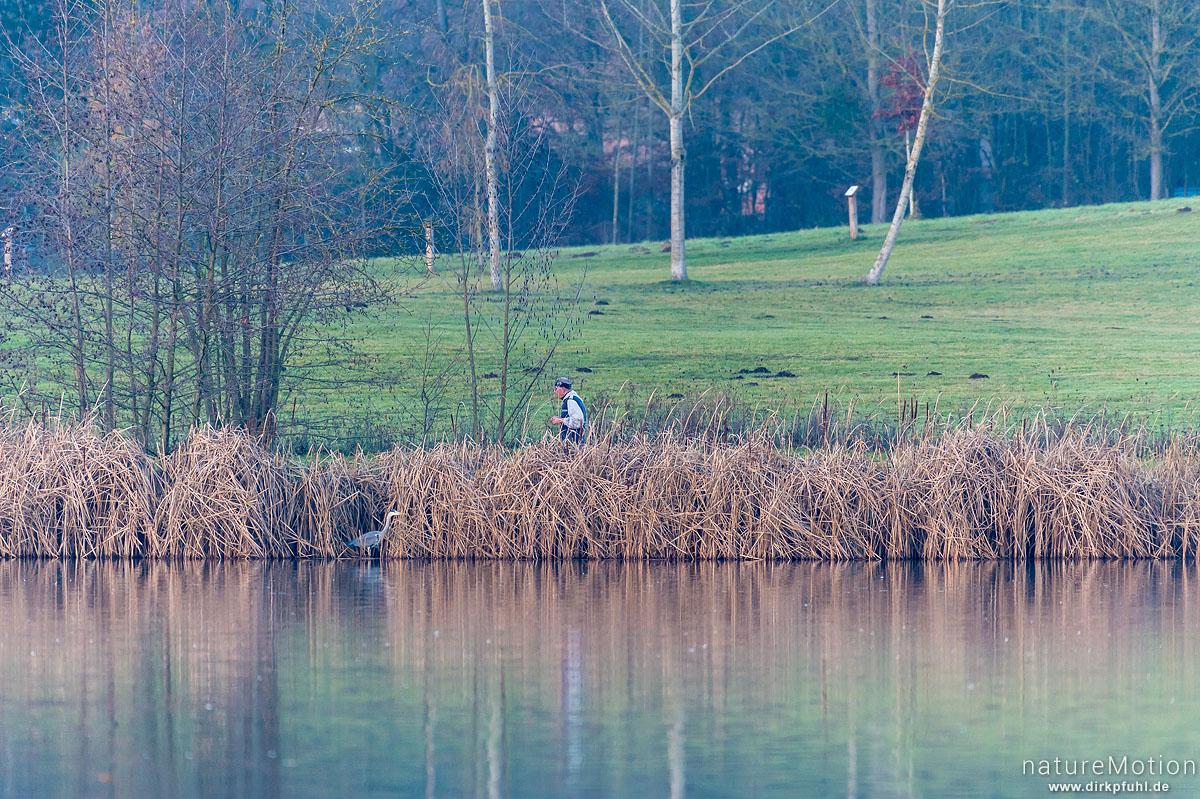 Graureiher, Ardea cinerea, Ardeidae, am Ufer in direkter Nähe zu Spaziergänger, Kiessee, Göttingen, Deutschland