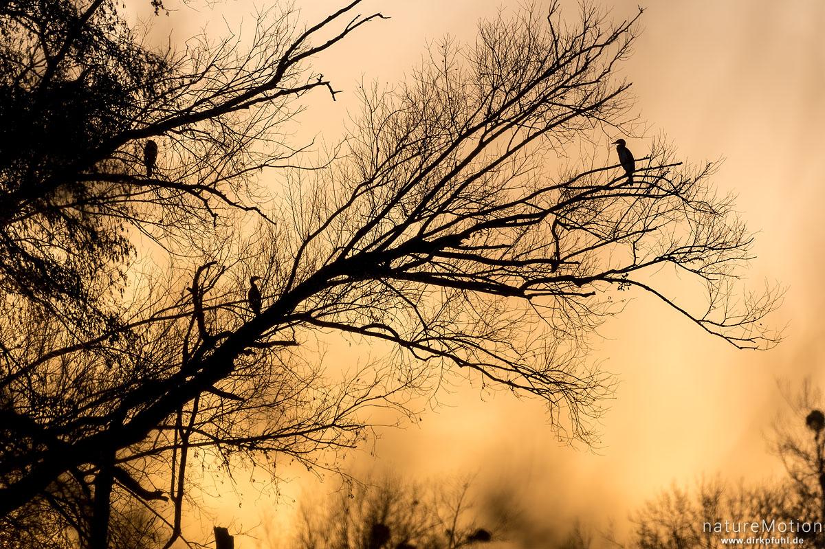 Kormoran, Phalacrocorax carbo, Phalacrocoracidae, rastende Tiere im Geäst, Abendlicht, Kiessee, Göttingen, Deutschland