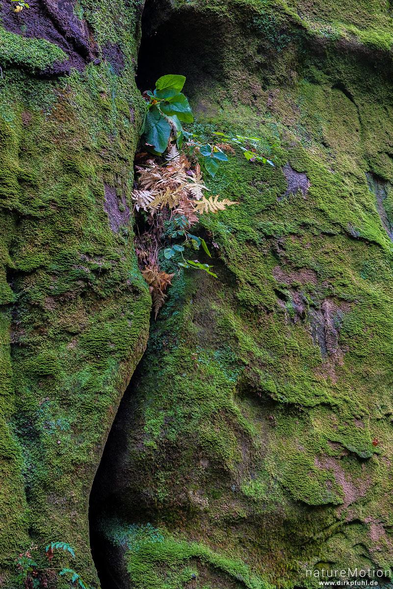 Farnpflanze in Felsspalte, moosbedeckter Sandstein, Bad Schandau, Deutschland