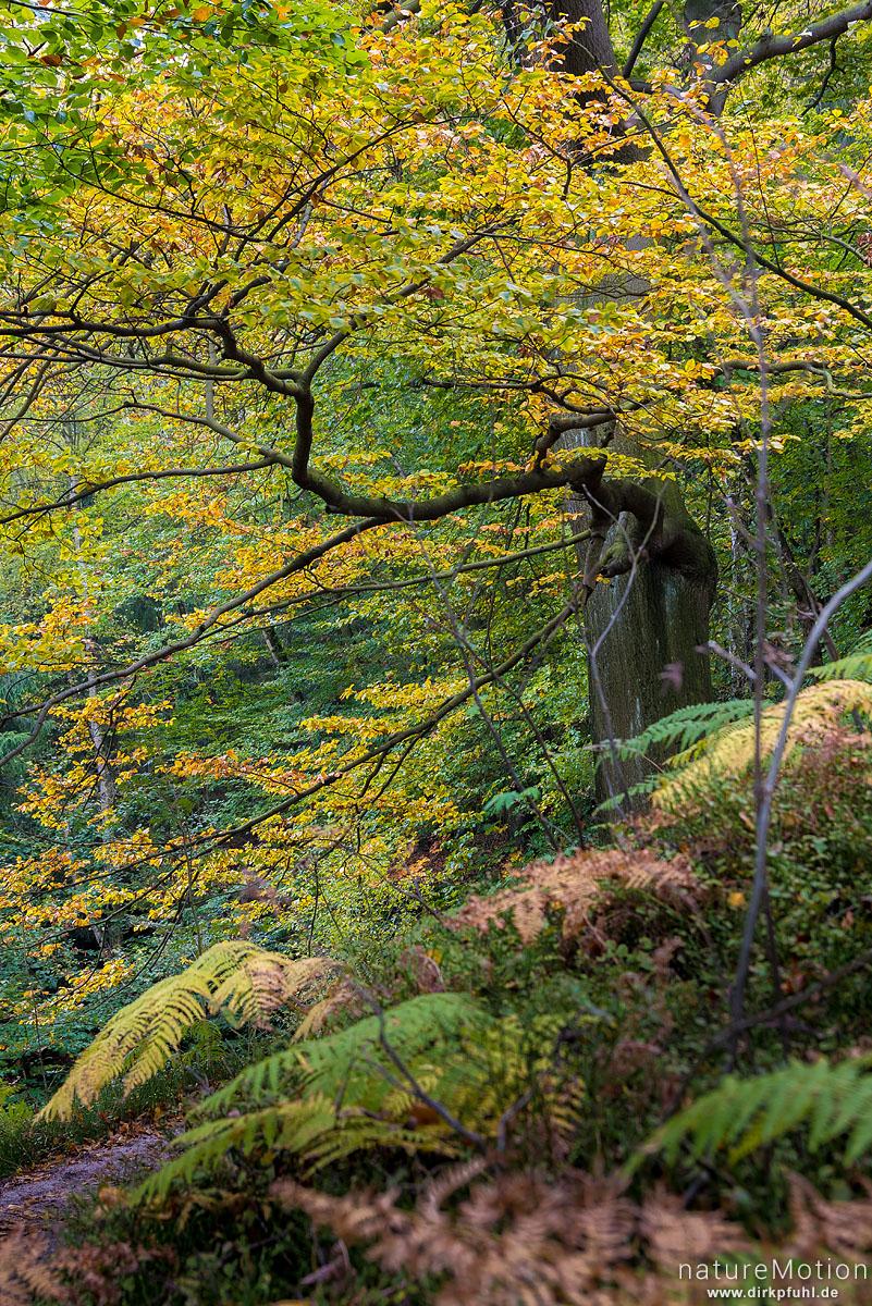 Buche mit Herbstlaub, herbstlich gefärbter Adlerfarn, Affensteinweg, Bad Schandau, Deutschland