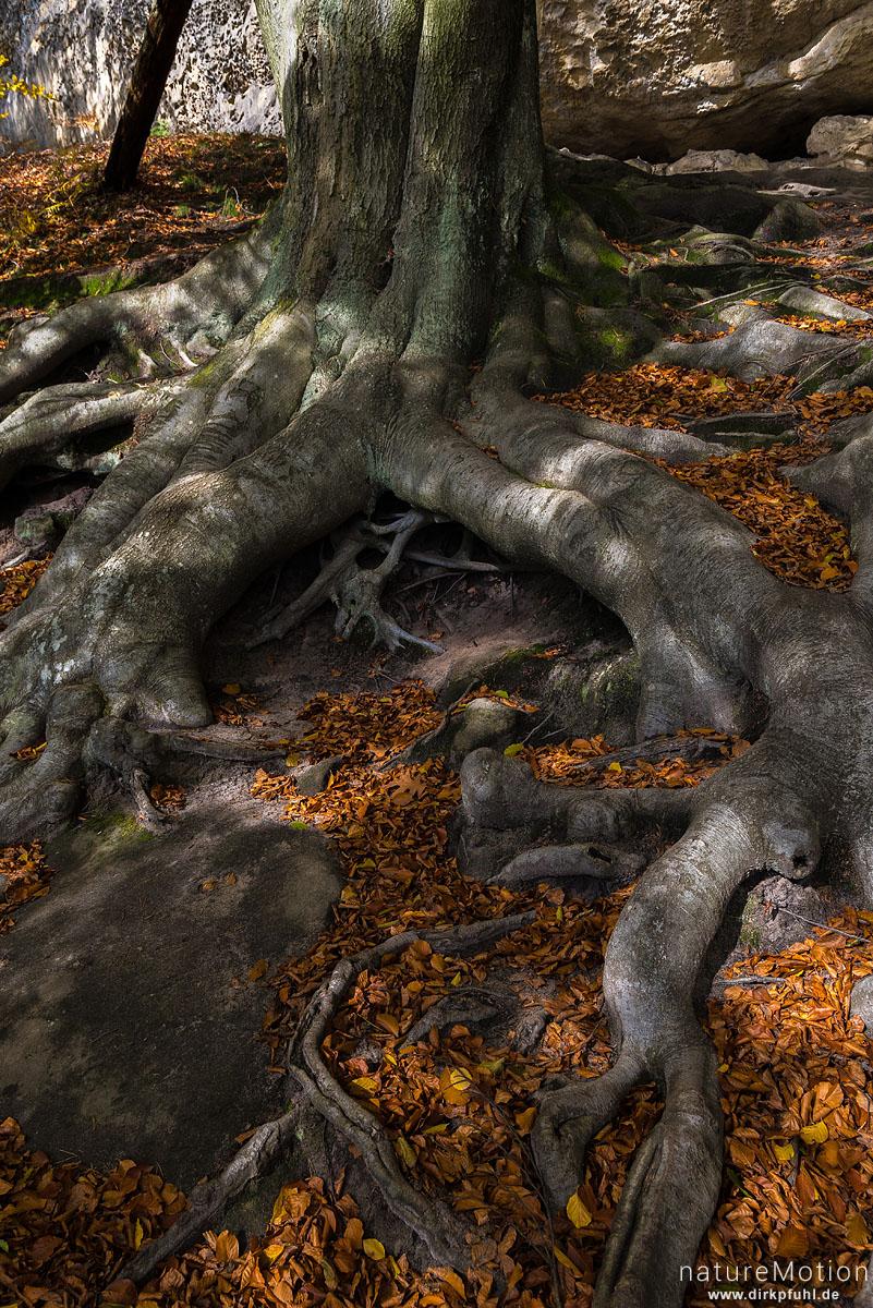 Wurzelwerk einer Buche, Weg unterhalb von Sandsteinfelswänden, Herbstwald, Tal des Kamnitzbach, Hrensko, Tschechien