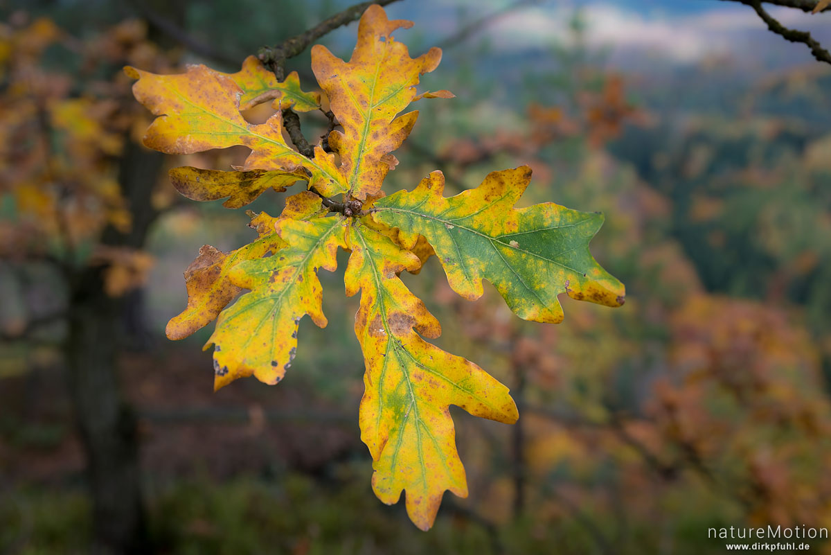 Eichenlaub, Herbstfärbung, Chlorophyll und Antocyane, Schrammsteine, Bad Schandau, Deutschland