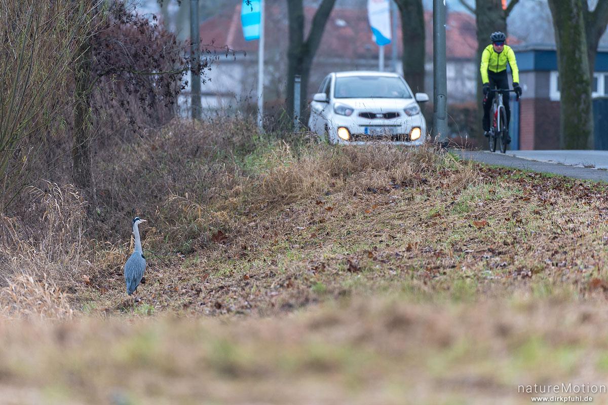 Graureiher, Ardea cinerea, Ardeidae, Tier direkt neben stark befahrener Strasse, Leine, Sandweg, Göttingen, Deutschland