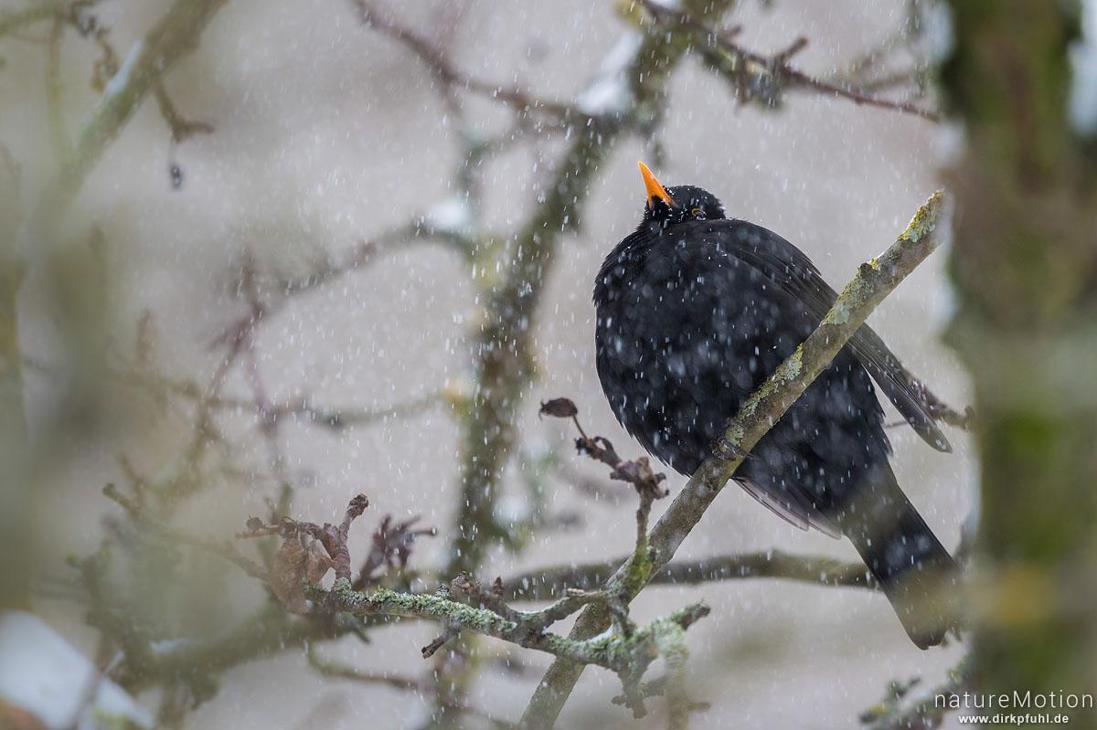 Amsel, Schwarzdrossel, Turdus merula, Drosseln (Turdidae), Männchen in Apfelbaum, Schneetreiben, Am Weißen Steine, Göttingen, Deutschland
