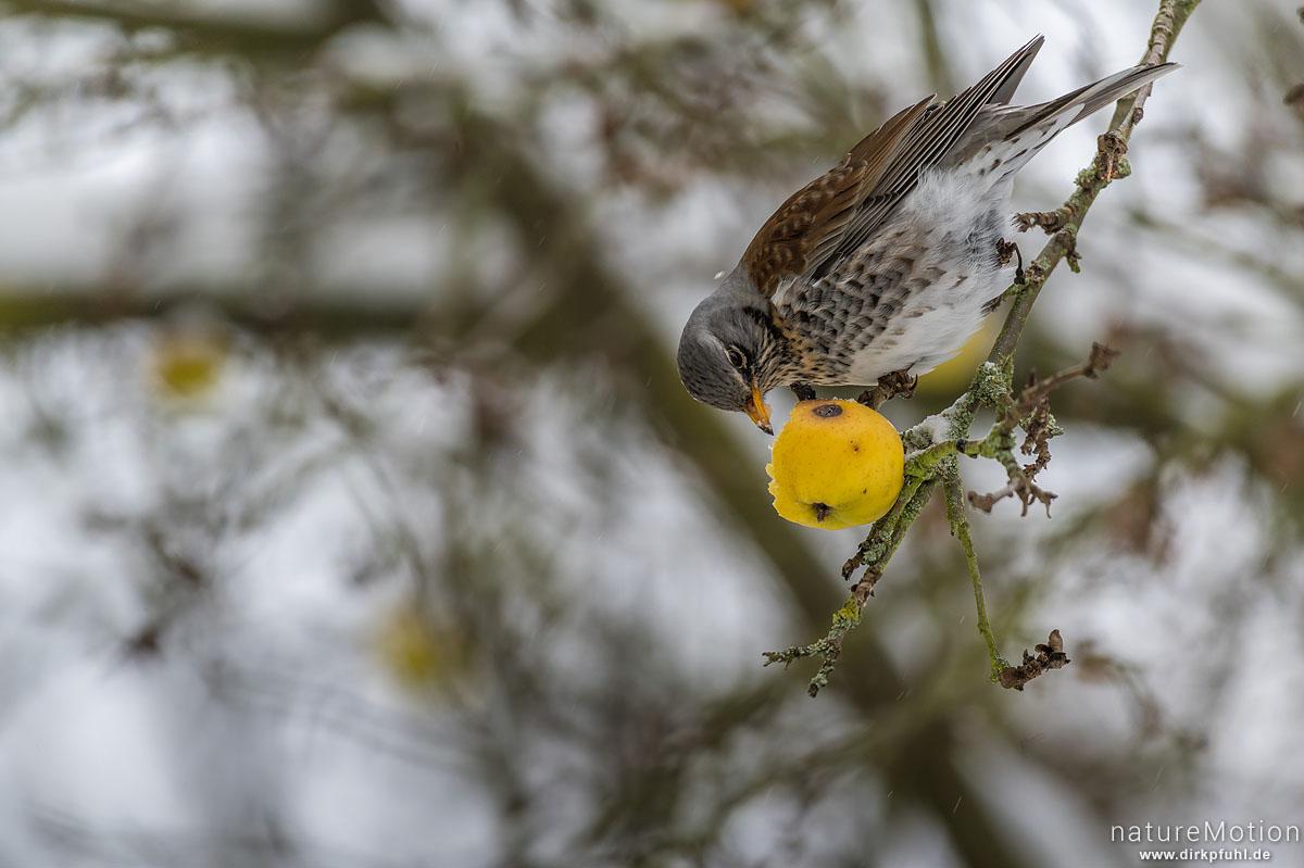 Wacholderdrossel, Turdus pilaris, Drosseln (Turdidae), Tier frist an hängen gebliebenem Apfel, Schneetreiben, Am Weißen Steine, Göttingen, Deutschland