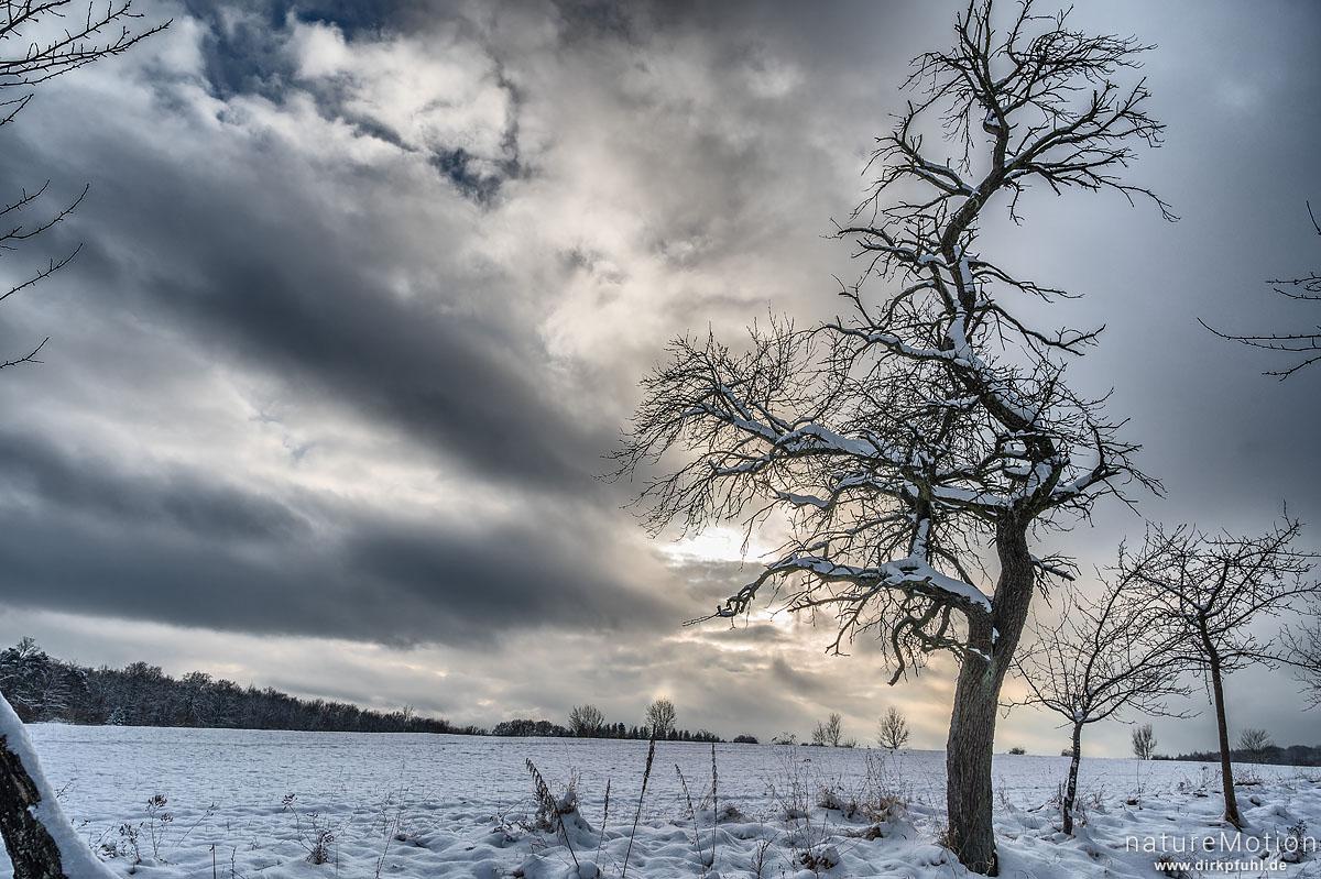schneebedeckter Apfelbaum, Kerstlingeröder Feld, Göttingen, Deutschland