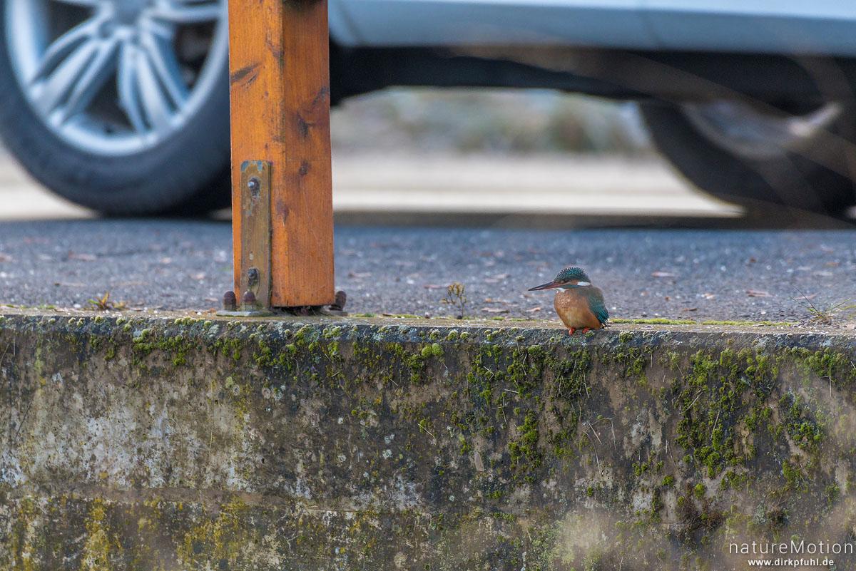 Eisvogel, Alcedo atthis, Eisvögel (Alcedinidae), Weibchen,  Ansitz direkt am Rand der vielbefahrenen Brücke, Flüthegraben, Göttingen, Deutschland