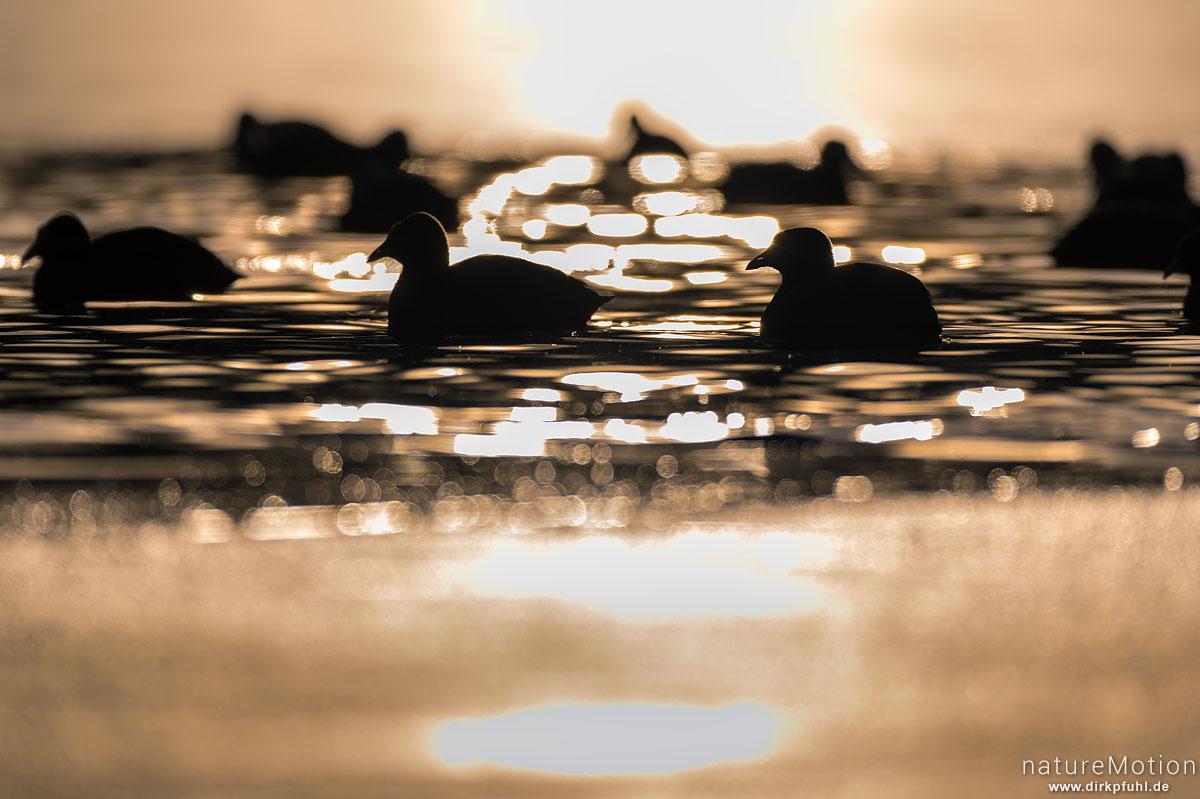 Bläßhuhn, Bläßralle, Fulica atra, Rallidae, ca 50 Tiere im offen gebliebenen Bereich eines zugefrorenen Sees, Rosdorfer Baggersee, Göttingen, Deutschland
