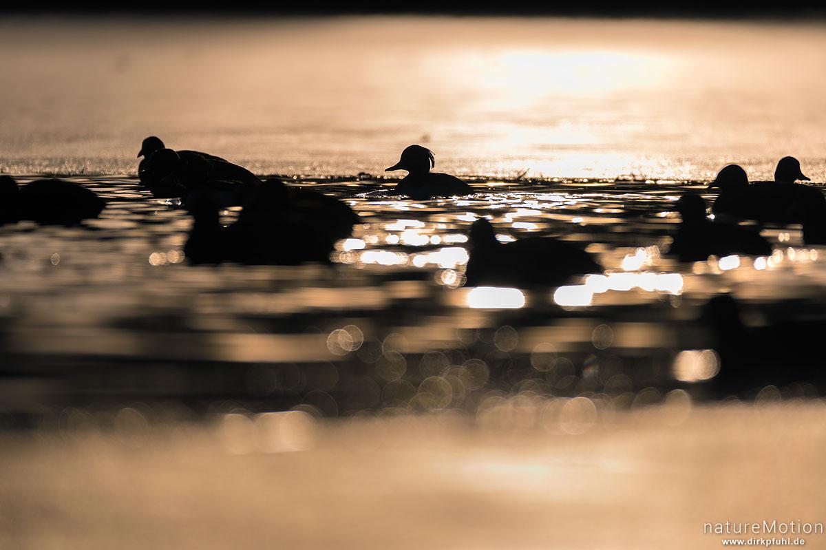 Reiherente, Aythya fuligula, Entenvögel (Anatidae), Bläßhuhn, Bläßralle, Fulica atra, Rallidae, ca 50 Tiere im offen gebliebenen Bereich eines zugefrorenen Sees, Rosdorfer Baggersee, Göttingen, Deutschland