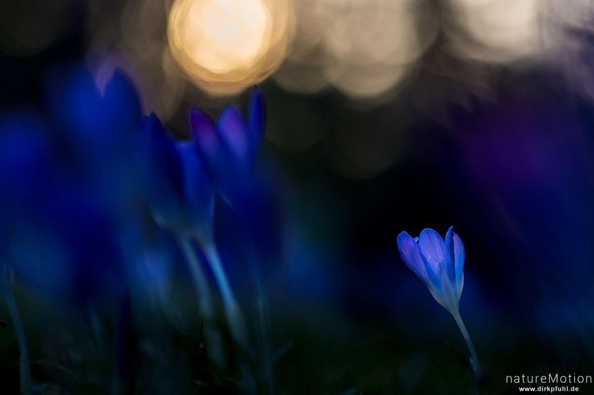 Krokus, Frühlings-Krokus, Crocus vernus, Schwertliliengewächse (Iridaceae), Blüten im Abendlicht, Göttingen, Deutschland