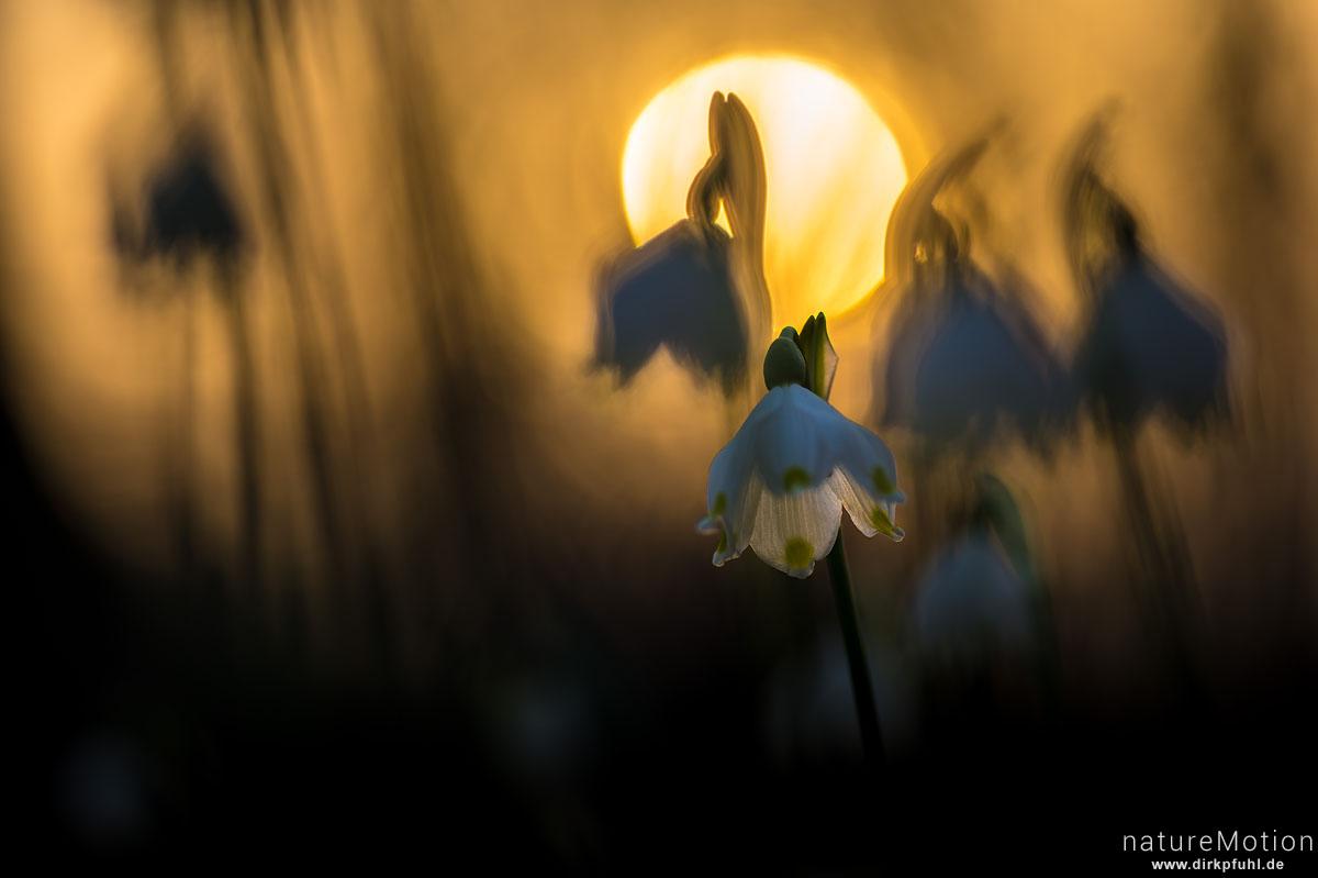 Märzenbecher, Leucojum vernum, Amaryllidaceae, blühende Pflanzen im Abendlicht, Westerberg, Göttingen, Deutschland