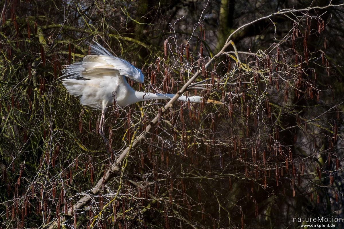 Silberreiher, Casmerodius albus, Reiher (Ardeidae), Sitzwarte in Weide am Seeufer, Gefiederpflege, Kiessee, Göttingen, Deutschland