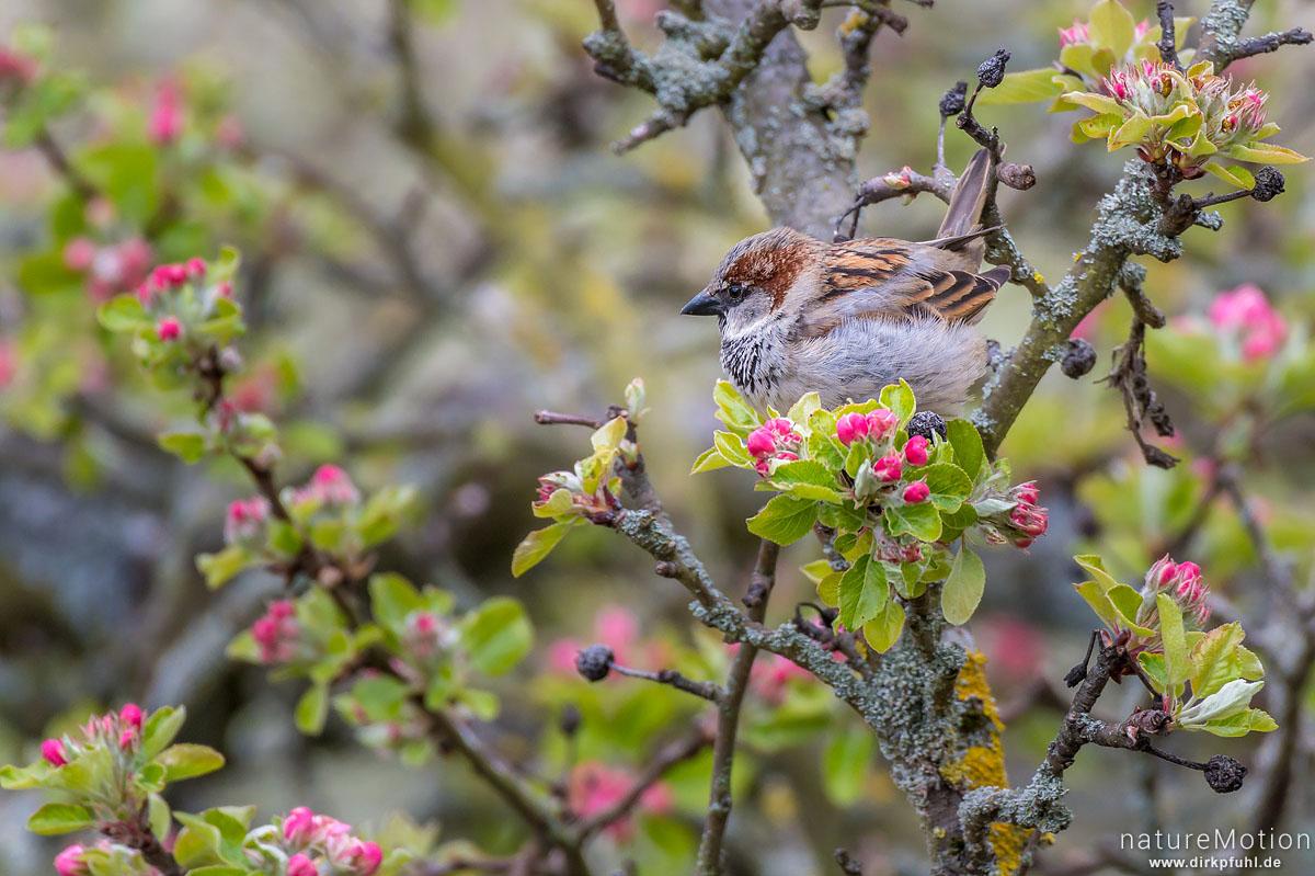 Haussperling, Spatz, Passer domesticus, Sperlinge (Passeridae), Tier frisst an Blüten von Apfelbaum, Am Weißen Steine, Göttingen, Deutschland