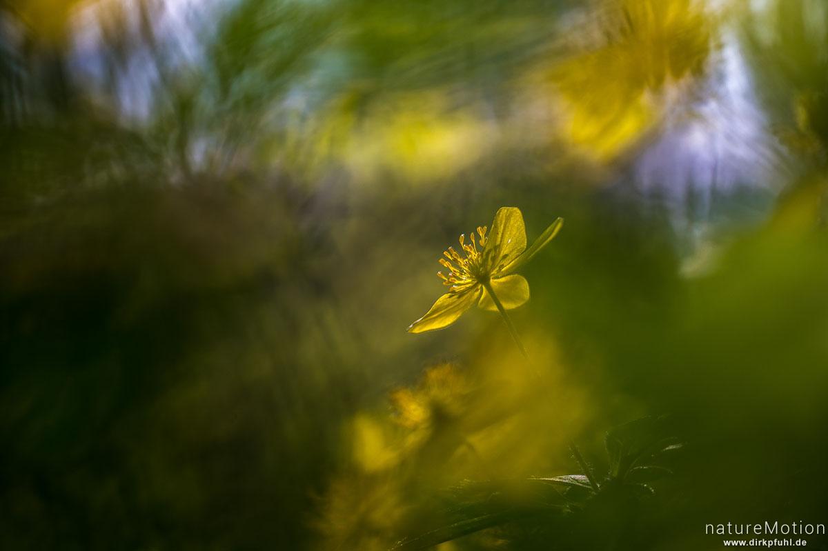 Gelbes Windröschen, Anemone ranunculoides, Ranunculaceae, Blüte, Hainberg, Göttingen, Deutschland