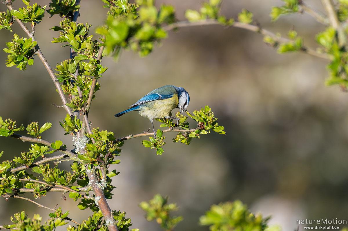 Blaumeise, Cyanistes caeruleus, Syn. Parus caeruleus, Meisen (Paridae),Tier auf Nahrungssuche in Weißdorn, Am Weißen Steine, Göttingen, Deutschland