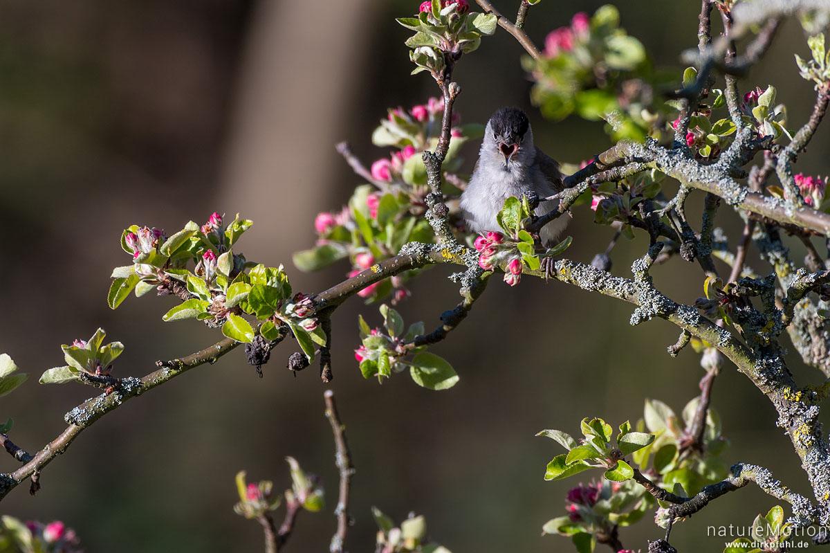 Mönchsgrasmücke, Sylvia atricapilla,  Grasmückenartige (Sylviidae), Männchen singt in blühendem Apfelbaum, Am Weißen Steine, Göttingen, Deutschland