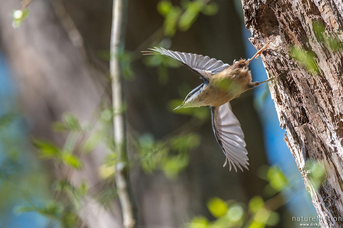Kleiber, Sitta europaea, Kleiber (Sittidae),Tier an Bruthöhle, fliegt ab, Kiessee, Göttingen, Deutschland