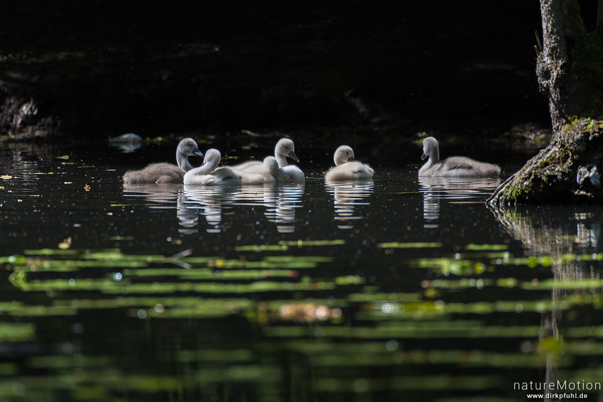 Höckerschwan, Cygnus olor, Entenvögel (Anatidae), Küken auf dem Wasser, Levinscher Park, Göttingen, Deutschland