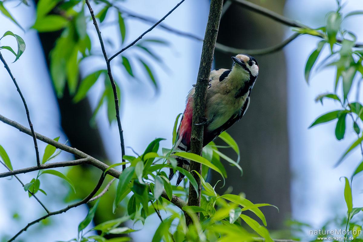 Buntspecht, Dendrocopos major, Spechte (Picidae), im Geäst nahe Bruthöhle, Levinscher Park, Göttingen, Deutschland