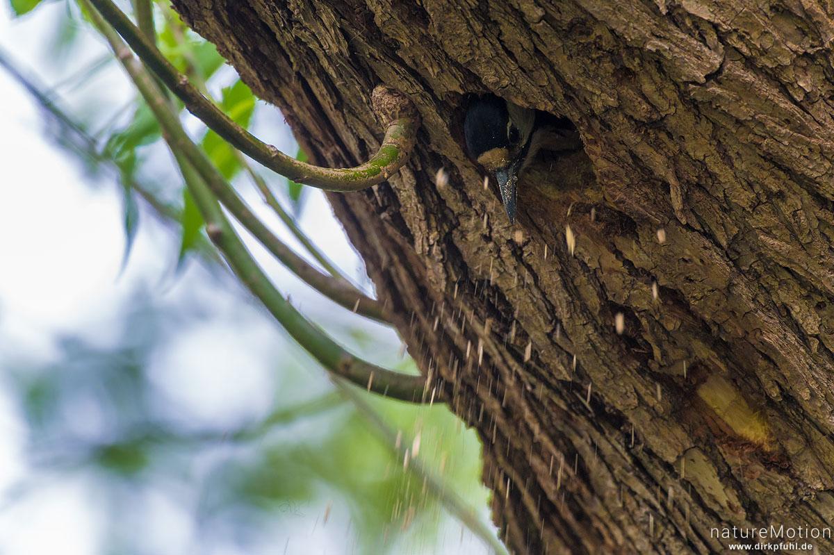 Buntspecht, Dendrocopos major, Spechte (Picidae), räumt Holzspäne aus der  Nisthöhle, Levinscher Park, Göttingen, Deutschland