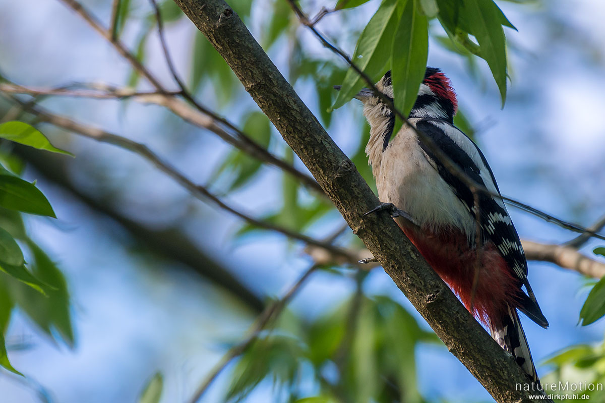 Buntspecht, Dendrocopos major, Spechte (Picidae), Nähe Nisthöhle, Levinscher Park, Göttingen, Deutschland