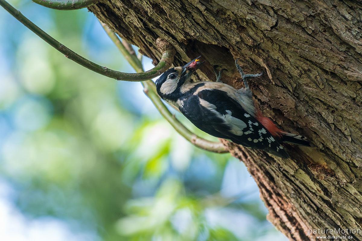 Buntspecht, Dendrocopos major, Spechte (Picidae), Weibchen mit Futter an Nisthöhle, Levinscher Park, Göttingen, Deutschland