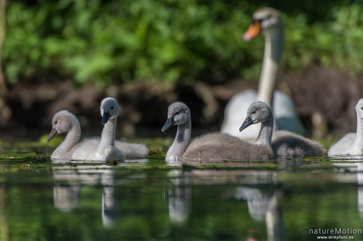 Höckerschwan, Cygnus olor, Entenvögel (Anatidae), Alttiere mit Küken, Fütterung, Levinscher Park, Göttingen, Deutschland