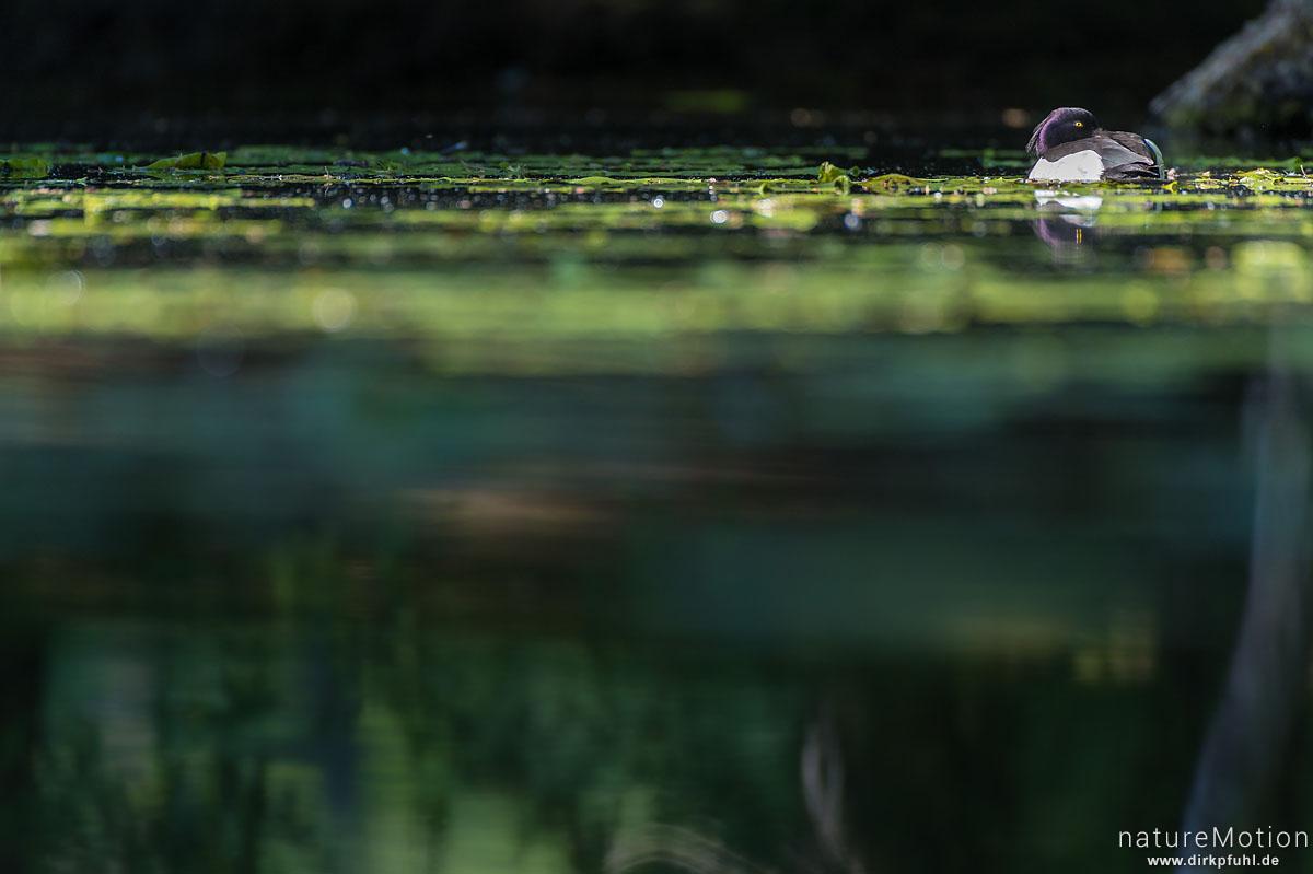 Reiherente, Aythya fuligula, Entenvögel (Anatidae), Männchen ruht auf Teich, Levinscher Park, Göttingen, Deutschland