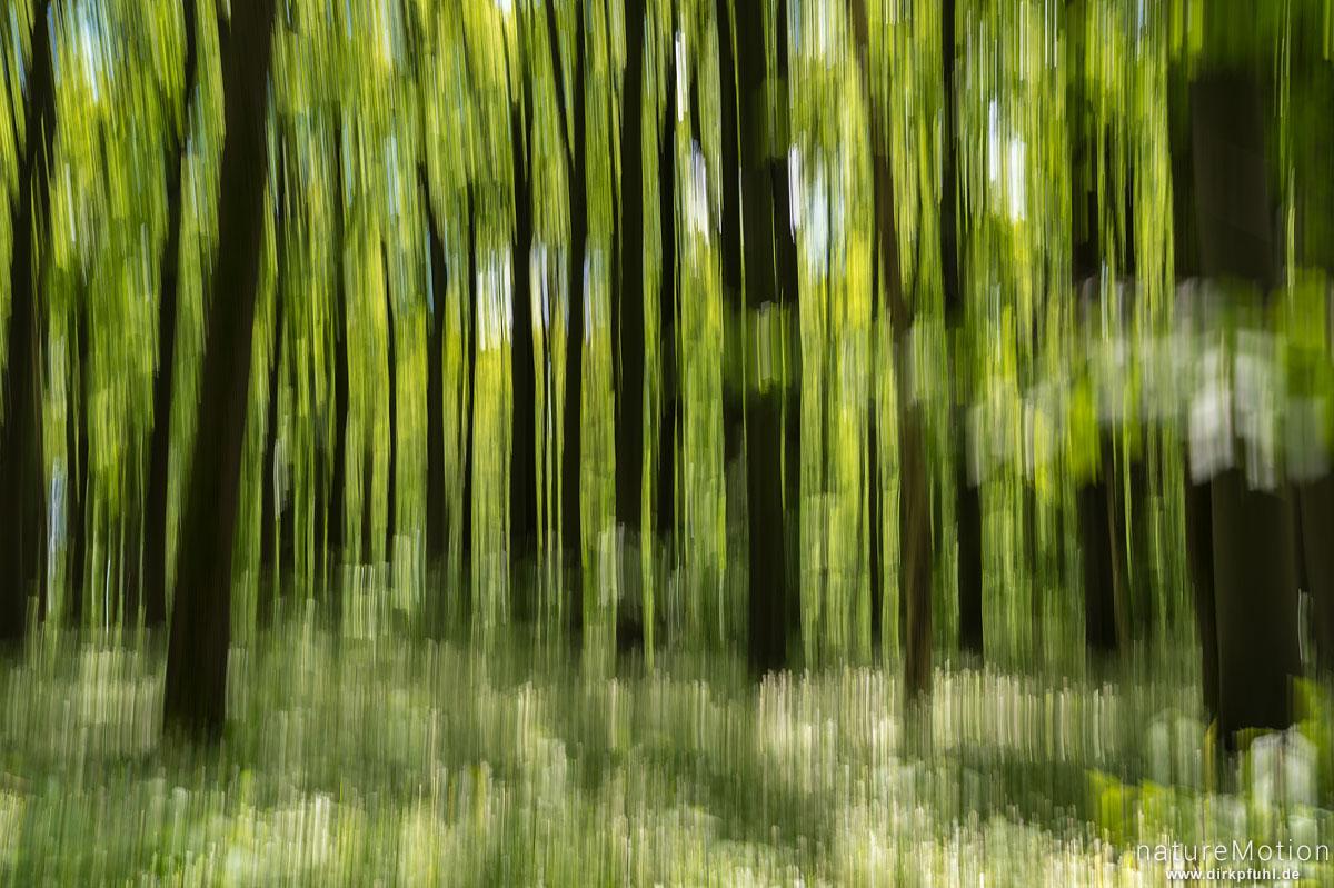 Bärlauch, Allium ursinum, Liliaceae, dichter Bestand in voller Blüte, vertikal verwischt, Buchenhallenwald, Hünstollen, Göttingen, Deutschland
