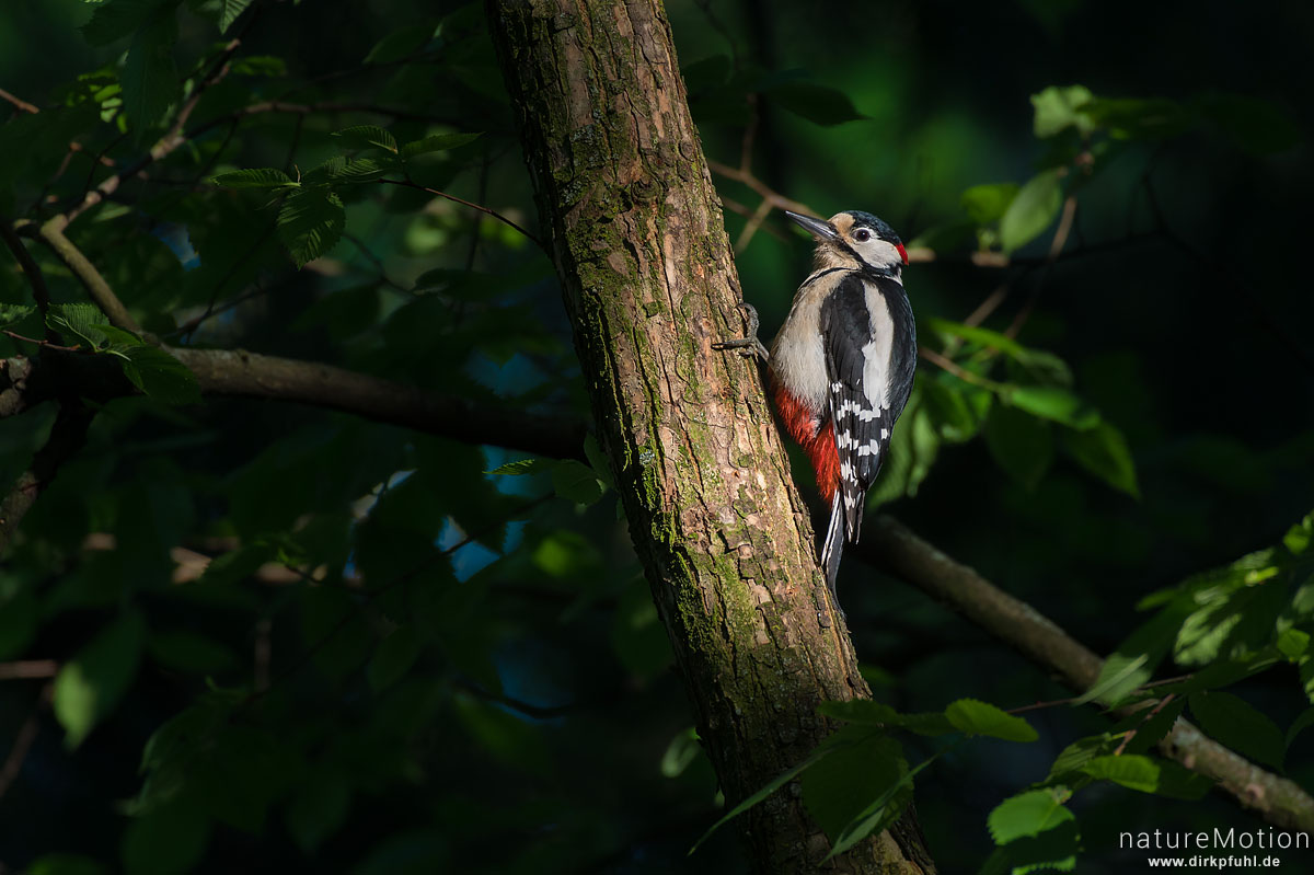 Buntspecht, Dendrocopos major, Spechte (Picidae), Männchen  in der Nähe der Nisthöhle, Levinscher Park, Göttingen, Deutschland