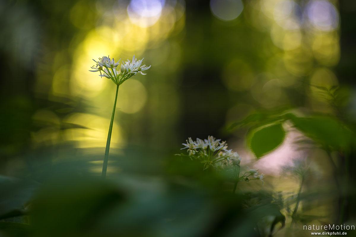 Bärlauch, Allium ursinum, Liliaceae, Blütenstand, Göttinger Wald an der östlichen Abbruchkante bei Mackenrode, Göttingen, Deutschland
