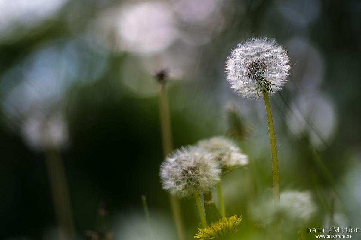 Löwenzahn, Taraxacum officinale, Asteraceae, Fruchtstand, Am Weißen Steine, Göttingen, Deutschland