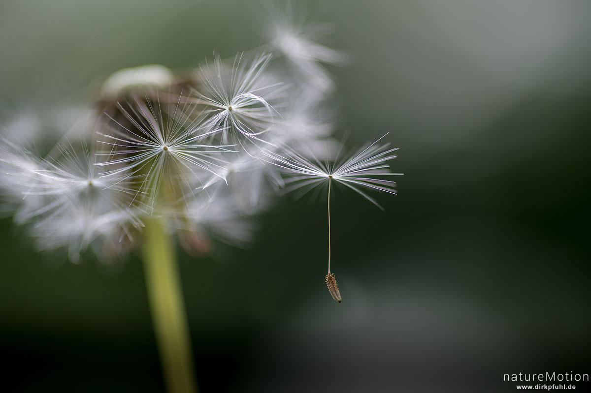 Löwenzahn, Taraxacum officinale, Asteraceae, Fruchtstand mit einzelnem Pappus, Am Weißen Steine, Göttingen, Deutschland